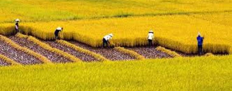 La légende du riz