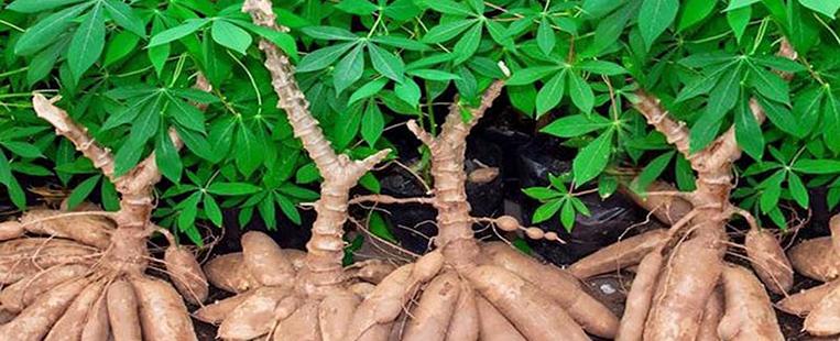 Les plats rustiques à base de manioc chez Vietnamiens