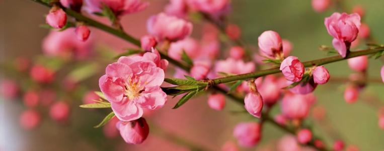 La signification des fleurs du Tet chez les Vietnamiens