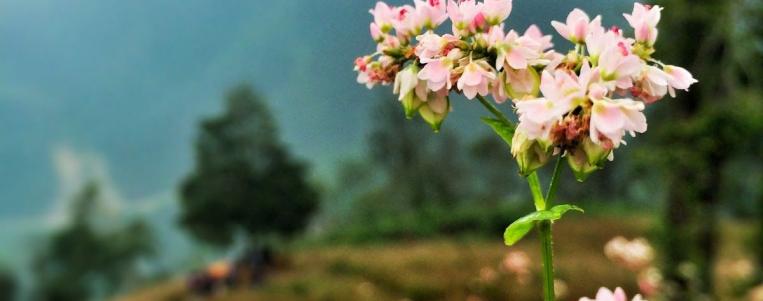 Tout Savoir sur la Saison des Fleurs de Sarrasin  à Ha Giang