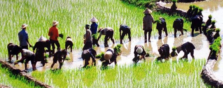 Les étapes de culture du riz